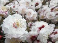 春到来ですね!河津桜や八重桜が満開(^^)