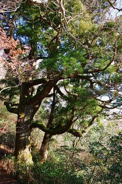 12月筑波山、疎らな登山者、澄み切った青空、元気な紫峰杉