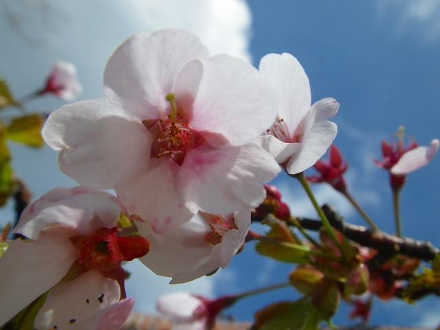 日光白根山 登山 桜
