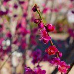 2月中旬の筑波山登山は神社前は梅が咲き、中腹からは氷と雪。軽アイゼンがあれば良いかも。。