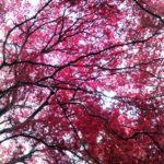 丹沢の大山の紅葉