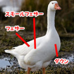 水鳥からダウン採取する実情を調査
